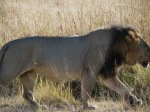 20180614-084200-Moremi-game-reserve-Lion-lowres